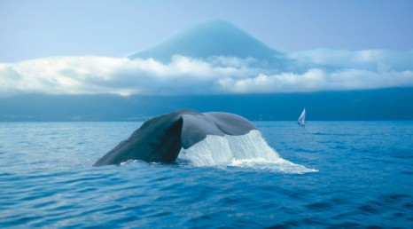 azores_pico_whale crop_1