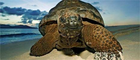 черепаха с о. Курьез