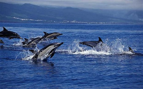 azores-dolphins_1855160b1