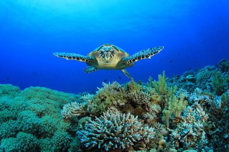 hawksbill-turtle-barbados