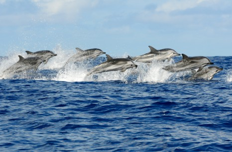 Pod of striped dolphins